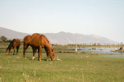 Horses grazing lakeside Royalty Free Stock Photography