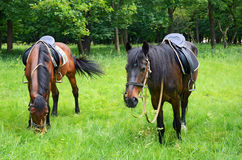 Horses grazing on the lawn Stock Image