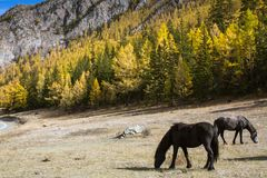Horses grazing on the lawn in Altai Mountains. Russia stock photo