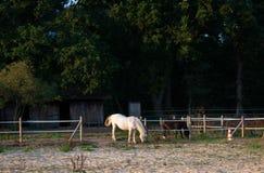 Horses grazing. Location: Germany, North Rhine - Westphalia, Borken. Horses grazing in the paddock. Location: Germany, North Rhine - Westphalia, Borken royalty free stock image
