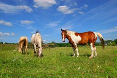 Horses grazing in meadow Royalty Free Stock Photo