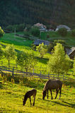 Horses grazing on meadow. In sunset on mountain village royalty free stock photos