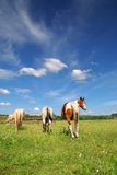 Horses grazing in meadow stock photography