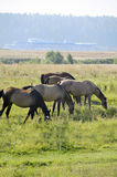 Horses grazing on the meadow Royalty Free Stock Photos