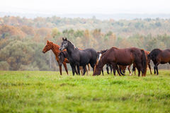 Horses grazing in a meadow. In autumn stock images