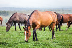 Horses grazing in a meadow Royalty Free Stock Photography