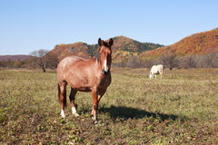 Horses grazing in a meadow Stock Photography