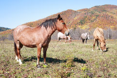 Horses grazing in a meadow Royalty Free Stock Images