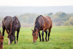 Horses grazing in a meadow in autumn Stock Images