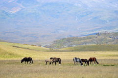 Horses grazing in a meadow on the background of high mountains. Horses grazing in a meadow on the background of high mountains Stock Image