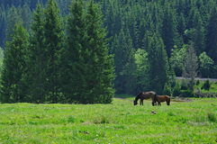 Horses grazing on the meadow Royalty Free Stock Images
