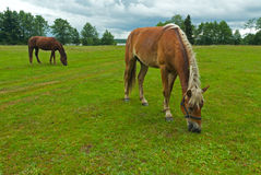 Horses grazing meadow Stock Photos