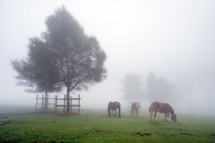 Horses grazing in meadow with fog and a tree Stock Photos