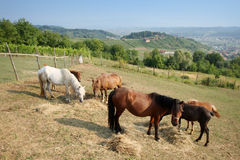 Horses grazing on meadow Royalty Free Stock Photography