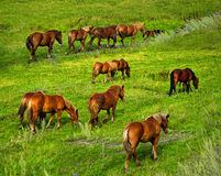 Horses grazing on the meadow. Stock Photos