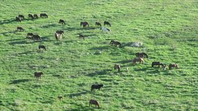 Horses grazing in a  meadow stock video