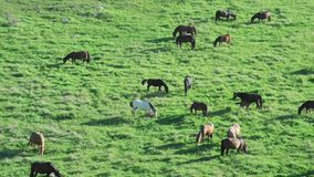 Horses grazing in a  meadow stock footage