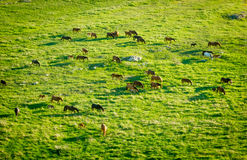 Horses grazing in a meadow Royalty Free Stock Image