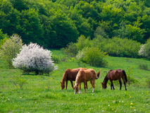 Horses grazing in a meadow Royalty Free Stock Photos