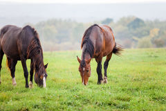 Horses grazing in a meadow near a forest Royalty Free Stock Photography