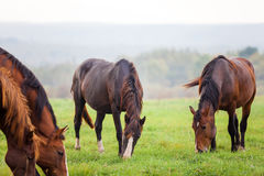 Horses grazing in a meadow near a forest Stock Photography