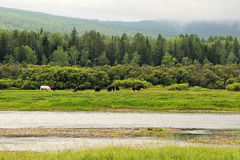 Horses grazing in a meadow by the river, Siberia Stock Photos