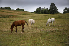Horses grazing in the meadow Stock Photos
