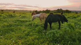 Horses grazing in the meadow at sunset stock footage