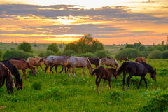 Horses grazing in the meadow at sunset Royalty Free Stock Photography