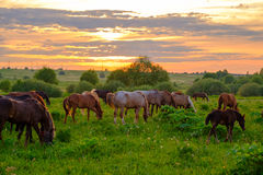Horses grazing in the meadow at sunset Royalty Free Stock Images