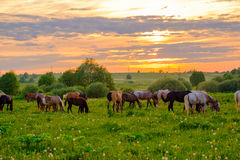 Horses grazing in the meadow at sunset Royalty Free Stock Photo