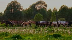 Horses grazing in the meadow at sunset stock video