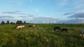 Horses grazing in the meadow at sunset stock video footage
