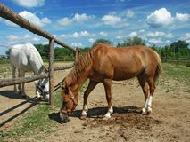 Horses grazing on the meadow Stock Images