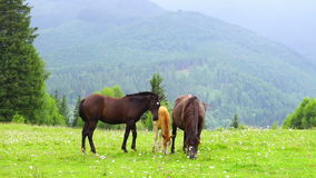 Horses Grazing in a Meadow. stock footage