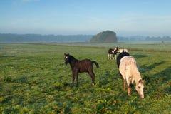 Horses grazing on morning pasture Stock Photo