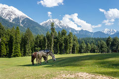 Horses grazing, mountain landscape stock photography