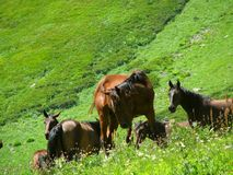 Horses grazing in a mountain meadow. Meeting in high-mountain valley Royalty Free Stock Photography