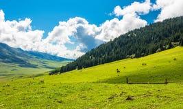 Horses grazing on a mountain pasture, Kyrgyzstan. Royalty Free Stock Photos