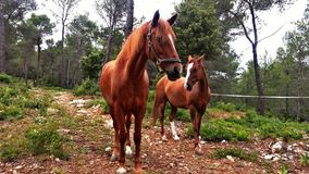 Horses grazing in the mountain. Two brown horses grazing in the mountain. They came to say hello so friendly Stock Photo