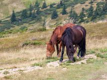 Horses in the mountains royalty free stock images