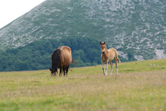 Horses. Grazing in the mountains Stock Photography