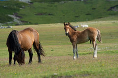 Horses. Grazing in the mountains Royalty Free Stock Images