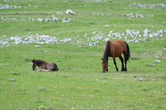 Horses. Grazing in the mountains Stock Images