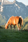 Horses grazing in the mountains. Horses on pasture, snowy hill, mountains, golden stock photography