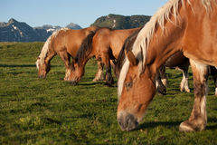 Horses grazing in the mountains. Horses on pasture, snowy hill, mountains, golden royalty free stock photo