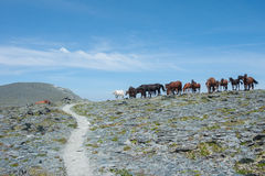 Horses grazing in the mountains. Trekking in the Altai Mountains Royalty Free Stock Photo
