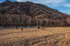 Horses grazing mountains winter Stock Photo
