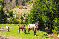 Horses grazing near a mountain river Royalty Free Stock Photos