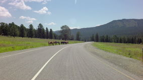 Horses grazing near the road. Chuysky Trakt in the Altai Mountains stock footage